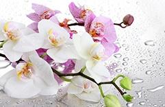 Feng Shui - Orquídea