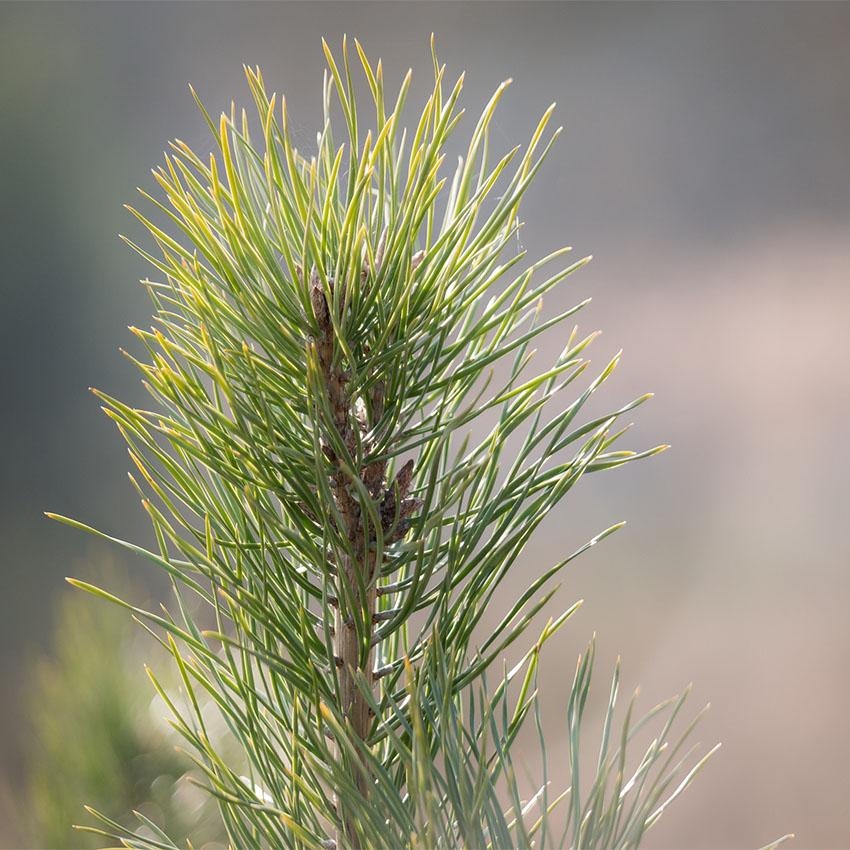 horóscopo das árvores Pinheiro (19 a 28 de fevereiro e 24 de agosto a 2 de setembro)