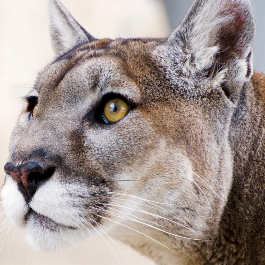 Puma (nascidos entre 23 de agosto e 22 de setembro)