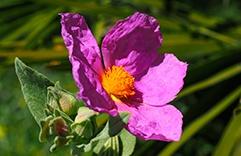 terapia floral contra o estresse pós-traumático - Rock Rose