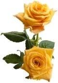 symboles de l'amitié - La rose jaune