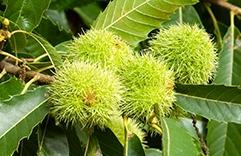 terapia floral contra o estresse pós-traumático - Sweet Chestnut