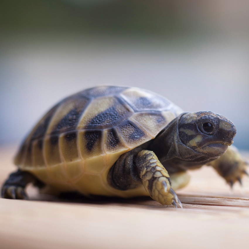 Tartaruga – De 27 de junho a 25 de julho