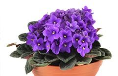 Feng Shui - Violetas