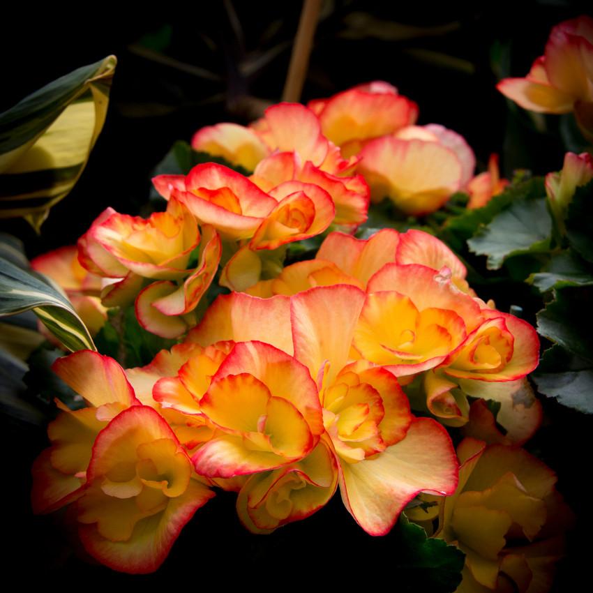 Horoscope des fleurs VIERGE